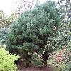 PinusDensifloraUmbraculifera.jpg 1024 x 768 px 278.2 kB