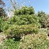 PinusDensiflora.jpg 638 x 850 px 215.08 kB