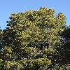 PinusEdulis3.jpg 600 x 903 px 441.51 kB