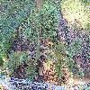 PinusFlexilis3.jpg 1024 x 768 px 297.61 kB