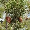 PinusHalepensis3.jpg 600 x 900 px 442.14 kB