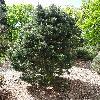 PinusMugoFrisia.jpg 681 x 908 px 490.79 kB