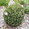 PinusMugoMiniMops.jpg 1024 x 768 px 353.03 kB