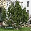 PinusMugo.jpg 959 x 800 px 251.72 kB