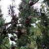 PinusParviflora4.jpg 1024 x 768 px 252.69 kB