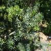 PinusParvifloraNegishi2.jpg 1024 x 768 px 233.75 kB