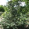 PinusParvifloraNegishi.jpg 681 x 908 px 518.11 kB