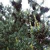 PinusParvifloraNisbeth2.jpg 1204 x 903 px 360.49 kB
