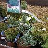 PinusParvifloraPentaphyllaGlauca.jpg 612 x 816 px 178.05 kB