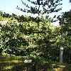 PinusParviflora.jpg 576 x 768 px 166.77 kB