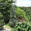 PinusSylvestrisFastigiata.jpg 681 x 908 px 496.93 kB