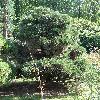 PinusSylvestrisGlobosaNana.jpg 681 x 908 px 507.77 kB