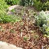 PinusSylvestrisRepanda.jpg 1229 x 922 px 704.36 kB