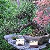 PinusSylvestrisWatereri.jpg 1024 x 768 px 282.44 kB