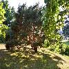 PinusSylvestrisWatererii2.jpg 750 x 501 px 291.34 kB