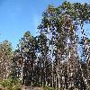 PinusSylvestris.jpg 1219 x 914 px 729.08 kB