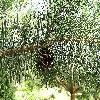 Pinus.jpg 1024 x 768 px 314.69 kB