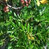 PistaciaLentiscus6.jpg 1024 x 768 px 192.9 kB