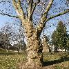 PlatanusHispanica2.jpg 645 x 642 px 149.97 kB