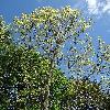 PlatanusHispanicaSuttneri3.jpg 681 x 908 px 497.95 kB