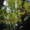 PlatanusHispanica.jpg 1024 x 768 px 275.08 kB