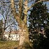 PlatanusOccidentalis4.jpg 637 x 849 px 189.75 kB