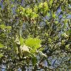 PlatanusOrientalis3.jpg 1127 x 845 px 241.46 kB