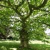 PlatanusOrientalis4.jpg 615 x 820 px 186.85 kB