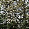 PlatanusRacemosa4.jpg 800 x 1204 px 598.83 kB