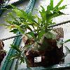 PlatyceriumHillii.jpg 681 x 908 px 321.21 kB