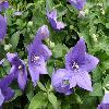 PlatycodonGrandiflorusNanum.jpg 1127 x 845 px 163.18 kB