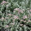 PlecostachysSerpyllifolia.jpg 900 x 1200 px 560.29 kB