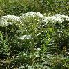 PleurospermumUralense2.jpg 600 x 902 px 393.75 kB