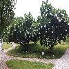 PlumeriaObtusa.jpg 1631 x 918 px 372.92 kB
