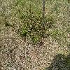 PodocarpusAlpinusChocklatBox.jpg 1024 x 768 px 367.36 kB