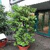 PodocarpusCostalis.jpg 681 x 908 px 414.33 kB