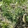 PodocarpusElongatus.jpg 1127 x 845 px 345.02 kB
