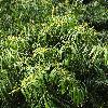 PodocarpusHenkelii.jpg 600 x 903 px 438.72 kB