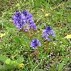PolygalaAmaraBrachyptera.jpg 525 x 700 px 255.89 kB