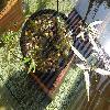 PolygonumAmphibium3.jpg 1167 x 875 px 304.86 kB