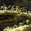 PolypodiumCalirhiza2.jpg 1196 x 900 px 568.76 kB