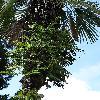 PolypodiumInterjectum.jpg 681 x 908 px 396.52 kB