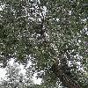 PopulusAlba2.jpg 638 x 850 px 218.96 kB