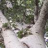 PopulusAlba3.jpg 638 x 850 px 123.11 kB