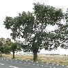 PopulusAlba.jpg 638 x 850 px 165.56 kB
