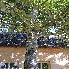 PopulusAndroscoggin2.jpg 576 x 768 px 157.65 kB