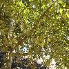 PopulusAndroscoggin.jpg 1024 x 768 px 302.23 kB