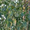 PopulusDeltoides2.jpg 1024 x 768 px 198.22 kB