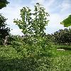 PopulusDeltoidesPurpleTower.jpg 720 x 960 px 405.62 kB