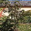 PopulusLasiocarpa.jpg 576 x 768 px 190.09 kB